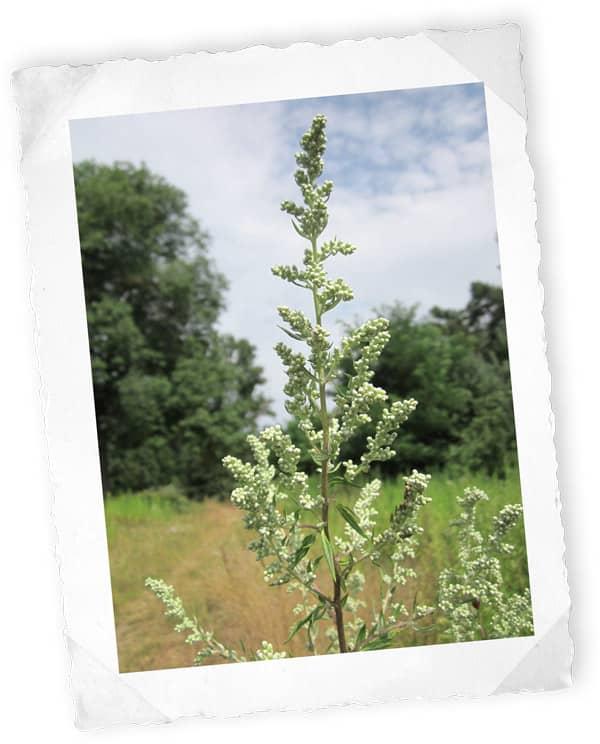 Wermutkraut (Artemisia absinthium L.)