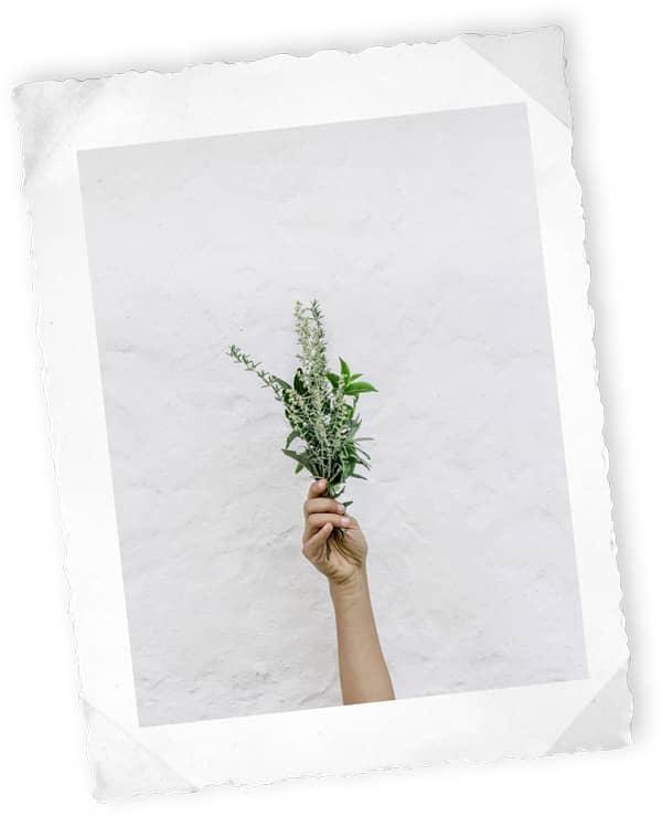 Wermutkraut - Absinth Pflanzen