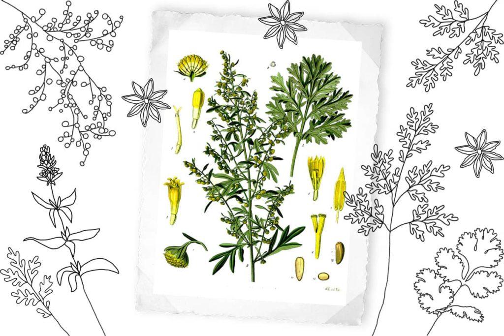 Absinth (Artemisia absinthium), eine althergebrachte Heilpflanze